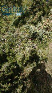 2-Juniperus-Communis