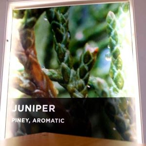 Wrong-Juniperus-Communis